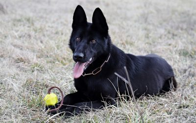 What Makes Black German Shepherds So Unique?